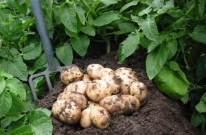 Potatoes are Easy to Grow