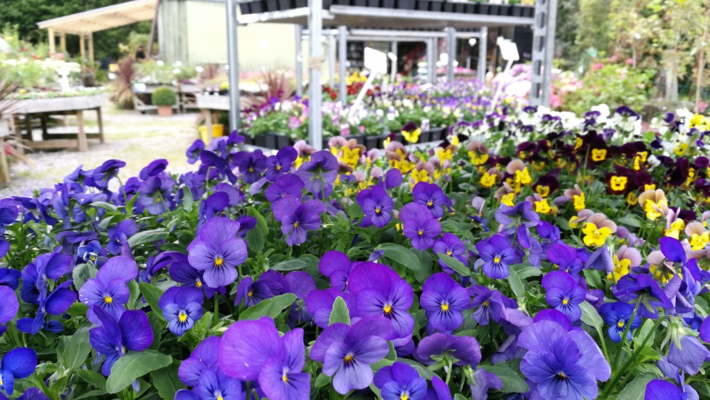 Lots of Violas and Pansies
